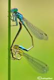 Ishnura elegans