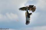 Nibbio bruno (Milvus migrans) & Falco di palude (Circus aeruginosus)