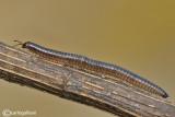Millepiedi - Millipede - Pachyiulus communis
