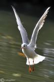 Gabbiano comune-Black-headed Gull (Larus ridibundus)