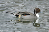 Codone-Northern Pintail (Anas acuta)