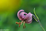 Lillium martagon