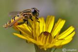 Syrphidae sp,