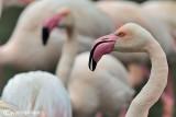 Fenicottero- Greater Flamingo (Phoenicopterus roseus)