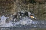Cormorano - Cormorant  (Phalacrocorax carbo)