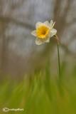 Narcisus pseudonarcisus