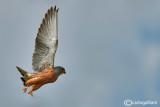 Grillaio- Lesser Kestrel (Falco naumanni