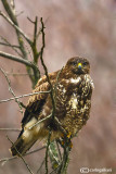 Poiana-Common Buzzard (Buteo buteo)