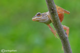 Rana verde-Green Frog (Pelophylax kl. sp.)