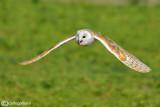 Barbagianni - Barn Owl (Tyto alba)
