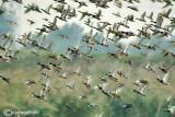 Ducks flight