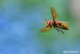 Hornet - Vespa cabro