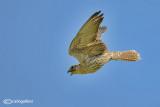 Sacro - Saker -Falco cherrug