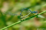 Coenagrion puella mating