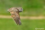 Allocco-Tawny Owl (Strix aluco)