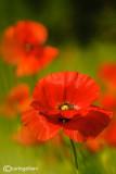 Poppies and cornflowers fields