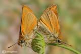 Thimelicus sp.