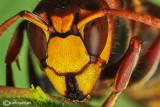 Calabrone - Hornet (Vespa crabro)
