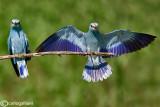 Ghiandaia marina-European Roller (Coracias garrulus)