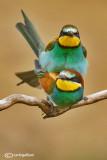 Gruccione-European Bee-eater (Merops apiaster)