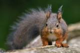 Scoiattolo-Squirrel (Sciurus vulgaris)