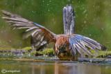 Ghiandaia -Eurasian Jay(Garrulus glandarius)