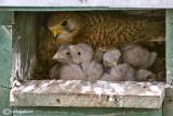 Gheppio -Eurasian Kestrel (Falco tinnunculus)