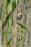 Cannaiola verdognola-Marsh Warbler (Acrocephalus palustris)