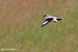 Averla maggiore- Great Grey Shrike (Lanius excubitor)