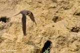 Topino-Sand Martin (Riparia riparia)
