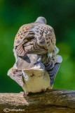 Tortora-Eurasian Turtle Dove (Streptopelia turtur)