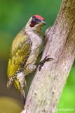 Picchio verde-Green Woodpecker (Picus viridis)
