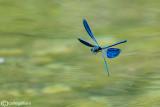 Calopteryx virgo