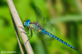 Aeshna affinis male