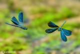 Calopteryx virgo  & splendens