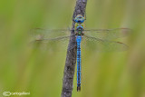 Anax imperator male