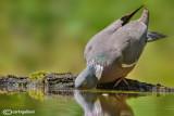 Colombaccio-Woodpigeon (Columba palumbus)