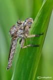 Asilis sp.