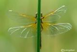 Sympetrum flaveolum female