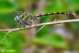 Onycogomphus uncatus male