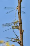 Chalcolestes parvidens oviposition