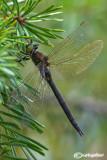 Somathoclora arctica female