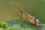 Scorpion fly female