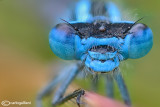 Enallagma cyathigerum male