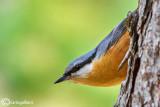 Picchio muratore-Eurasian Nuthatch (Sitta europaea)