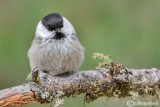 Cincia bigia alpestre-Willow Tit(Poecile montana)