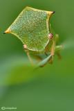 Stictocephalus bisomia