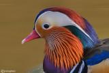 Anatra mandarina-Mandarin Duck (Aix galericulata)