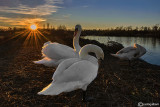 Sunset on swans