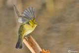 Luì piccolo-Common Chiffchaff (Phylloscopus collybita)